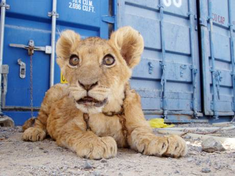baby lion for sale UK for around £ We now have ads under pets & animals for baby lion for sale UK, from free-cabinetfile-downloaded.ga, free-cabinetfile-downloaded.ga and 5 other sites.