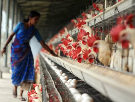 India poultry farm