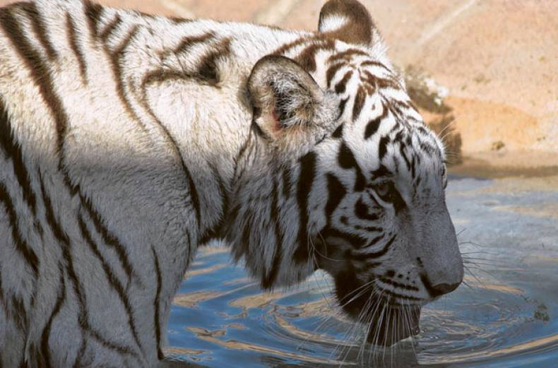 this-royal-bengal-tiger-caught-the-fancy-of-manoj-b-r-at-al-ain-zoo