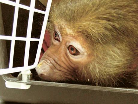 This baboon was found in a bird cage, with no water or food, at the Sharjah Animal Market