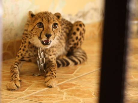 Abu Dhabi authorities capture an injured cheetah