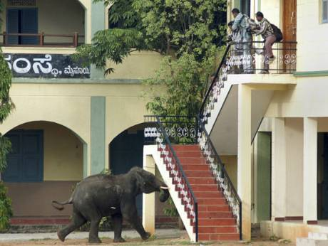 A wild elephant gores a security guard to death in Mysore, in the southern Indian state of Karnataka