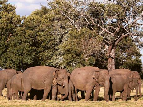 A herd of Asiatic wild elephants gather at a national park in Minneriya, some 200km from Colombo
