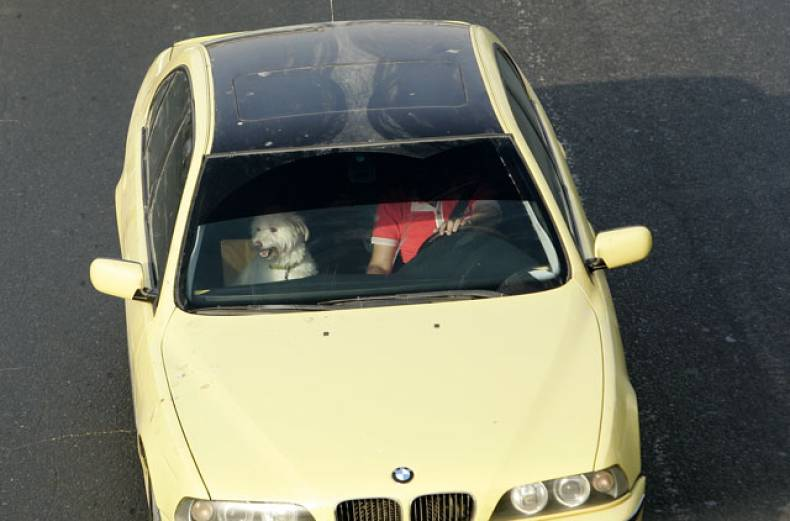 a-commuter-drives-with-a-dog-sitting-in-the-front-seat