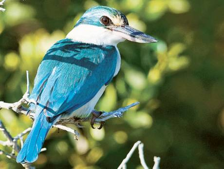 Kalba Collared Kingfisher, also called the Kalbaensis