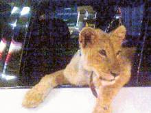 Ban on exotic animal ownership discussed